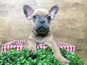 French-Bulldog-DOG-Male-3114367