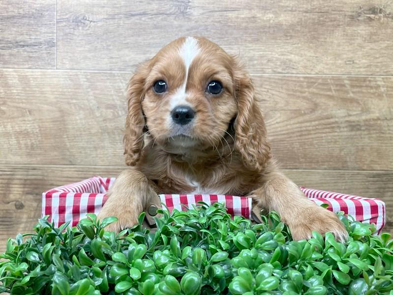 Cavalier King Charles Spaniel-DOG-Male-Ruby-3111250