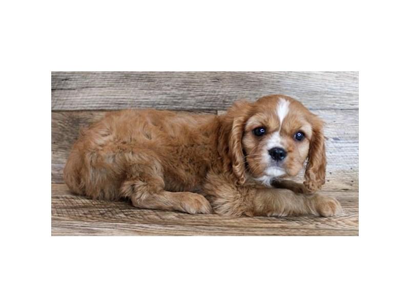 Cavalier King Charles Spaniel-DOG-Male-Ruby-3111250-img2