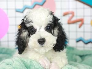 Poodle-DOG-Male--3113460