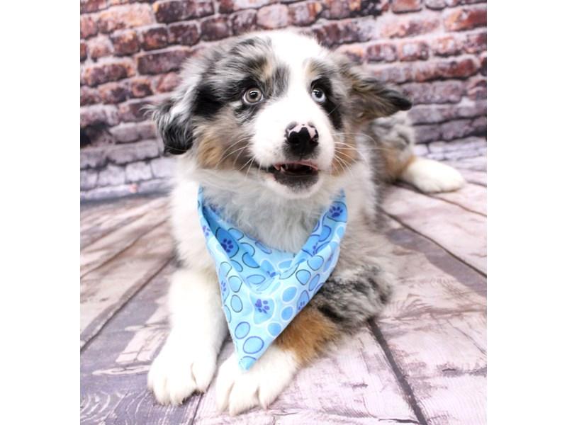 Miniature Australian Shepherd-DOG-Male-Blue Merle-3124181