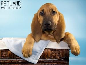 Bloodhound-DOG-Male-3121339