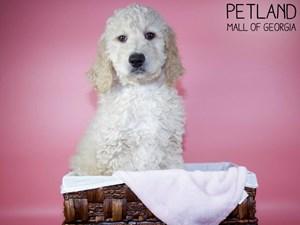 Goldendoodle-DOG-Female-3121328