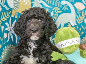 Standard Poodle-DOG-Male--