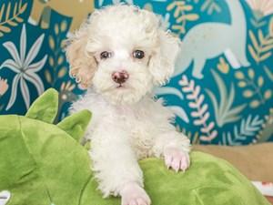 Poodle-DOG-Male--3123459