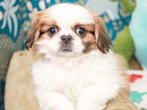 Pekingese-DOG-Female--3124526