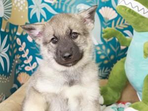 Norwegian Elkhound-DOG-Male-BLK/SLVR-