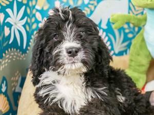 Bernedoodle-DOG-Male--3123802