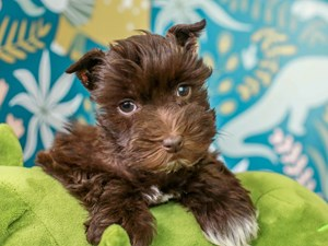 Mini Schnauzer-DOG-Female-CH/WH-3123778