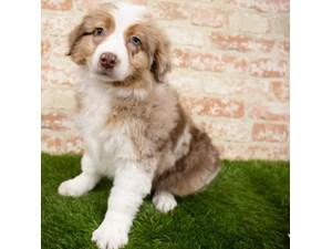 Australian-Shepherd-DOG-Female-3132137