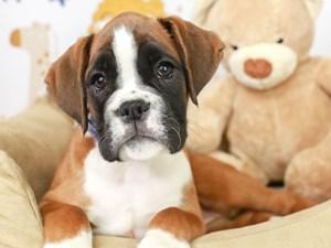 Boxer-DOG-Female--