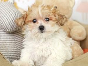 Yochon-DOG-Male--3134729