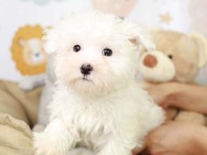 Maltese-DOG-Male-White-3134625