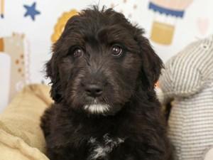 Bernedoodle-DOG-Female--