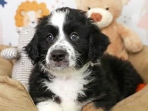 Aussie Poo-DOG-Male--3134843