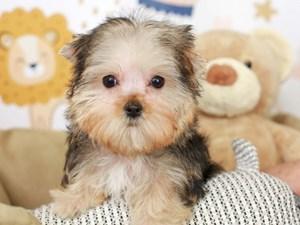 Morkie-DOG-Female--