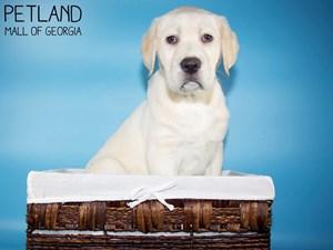 Labrador-Retriever-DOG-Male-3131522