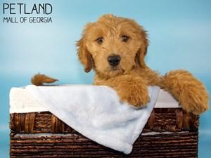 Goldendoodle-DOG-Male-3131422