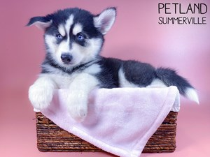 Siberian-Husky-DOG-Female-3131129