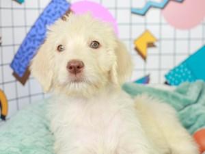 Labradoodle-DOG-Female--3112682