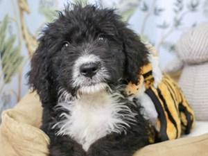 Bernedoodle-DOG-Male--3144591