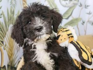 Bernedoodle-DOG-Male--3144592