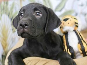 Labrador Retriever-DOG-Male--3144753