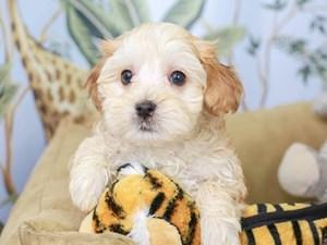 Havapoo-DOG-Male--