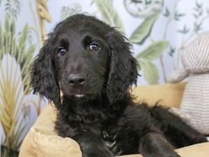 Goldendoodle-DOG-Male--