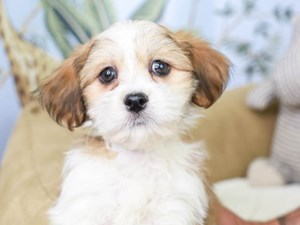 Hava Apso-DOG-Male--3144994