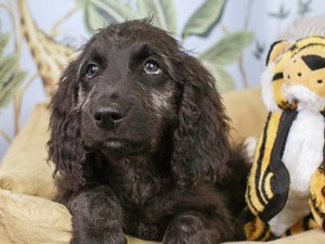 Goldendoodle-DOG-Female--3144623