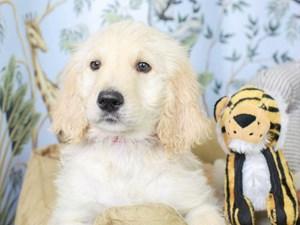 Goldendoodle-DOG-Male--3144614