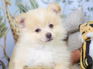 Pomeranian-DOG-Male--3145304