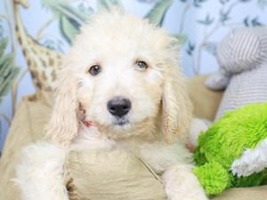 Goldendoodle-DOG-Female--3144620