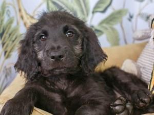 Goldendoodle-DOG-Male--3144616