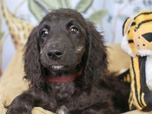 Goldendoodle-DOG-Male--3144618