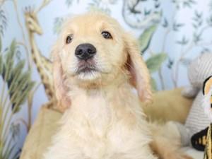 Goldendoodle-DOG-Male--3144619