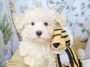 Havanese-DOG-Male-Cream-3143180