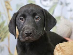 Labrador Retriever-DOG-Female--3144756