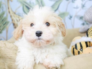 Havanese-DOG-Male-Cream-