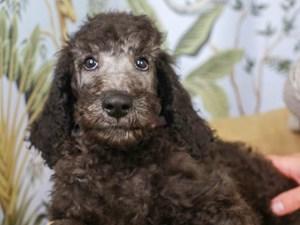 Standard Poodle-DOG-Male--3144779
