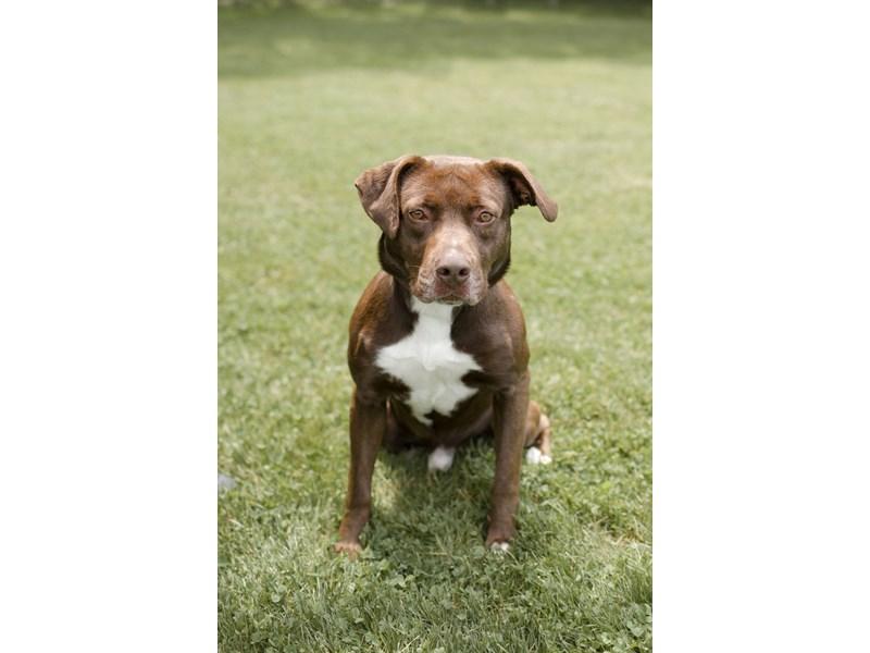 American Pit Bull Terrier/Labrador Retriever-DOG-Male-Chocolate,White-3136231-img2