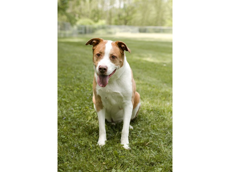 Pit Bull-DOG-Male-Red, White-1284064-img2