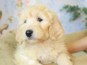 Goldendoodle-DOG-Female--3154756