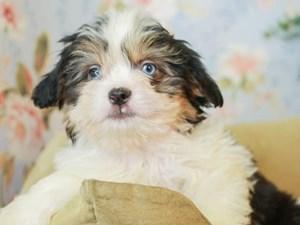 Aussietzu-DOG-Male--3155647