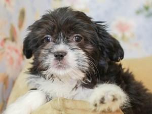 Aussietzu-DOG-Male--3155646