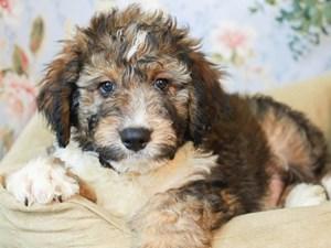 Aussiedoodle-DOG-Male--3154544