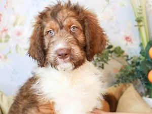 Aussiedoodle-DOG-Male--3154545