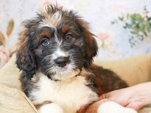 Aussiedoodle-DOG-Female--3154548