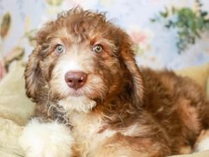 Aussiedoodle-DOG-Male--3154541